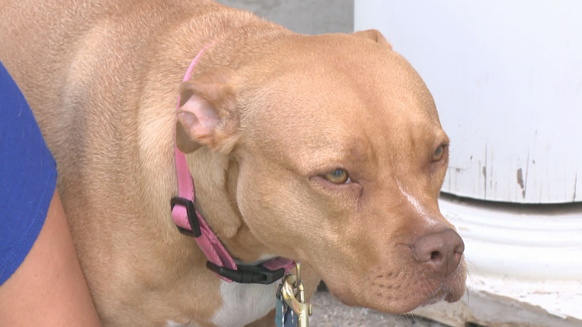 pit bulls dangerous and vicious A new bristol university study confirms what pit bull lovers suspected all along: aggressive behavior has little to do with breed and almost everything to do with the owners.